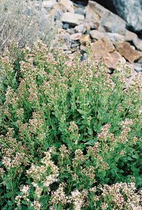 8/16/04 Western Eupatorium (Ageratina occidentalis). Along unpaved road from Lundy Lake Resort  to trailhead leading into Hoover Wilderness, paralleling Mill Creek to Lundy Falls. Eastern Sierras, Inyo National Forest, Mono County, CA
