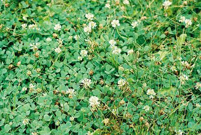 8/16/04 White Clover (Trifolium repens). Lundy Canyon Trail to Lundy Falls. Eastern Sierras, Inyo National Forest, Mono County, CA