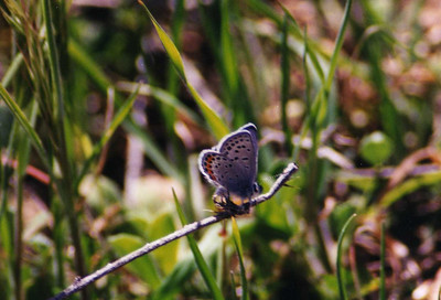 3/9/02 Square Spotted Blue? (Euphilotes battoides) or Dotted Blue (Euphilotes enoptes). Trail to vistor center, Malibu Creek State Park, Los Angeles County, CA