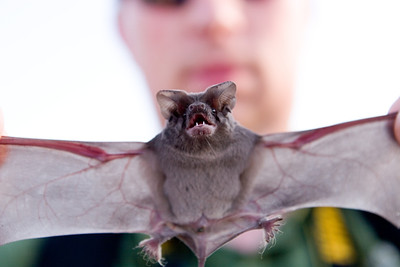 Mexican (Brazilian) free-tailed bat, Tadarida brasiliensis Frio Cave at Annandale Ranch Concan, TX