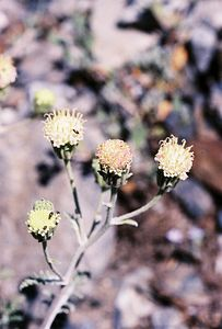 7/7/05 Dusty Maidens (Chaenactis douglasii var. douglasii). McGee Canyon Trail near McGee Creek. Inyo National Forest, Eastern Sierras, Mono County, CA