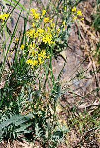 7/7/05 Senecio/Groundsel? (unidentified). McGee Canyon Trail near McGee Creek. Inyo National Forest, Eastern Sierras, Mono County, CA