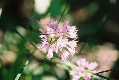 7/6/05 Aspen Onion (Allium bisceptrum). McGee Canyon Trail near McGee Creek.  Inyo National Forest, Eastern Sierras, Mono County, CA