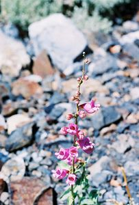 7/7/05 Rosy Penstemon (Penstemon floridus). McGee Canyon Trail. Inyo National Forest, Eastern Sierras, Mono County, CA