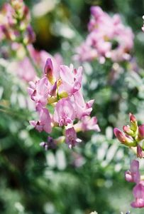 7/7/05 Freckled Milkvetch (Astragalus lintiginosus). McGee Canyon Trail near McGee Creek. Inyo National Forest, Eastern Sierras, Mono County, CA