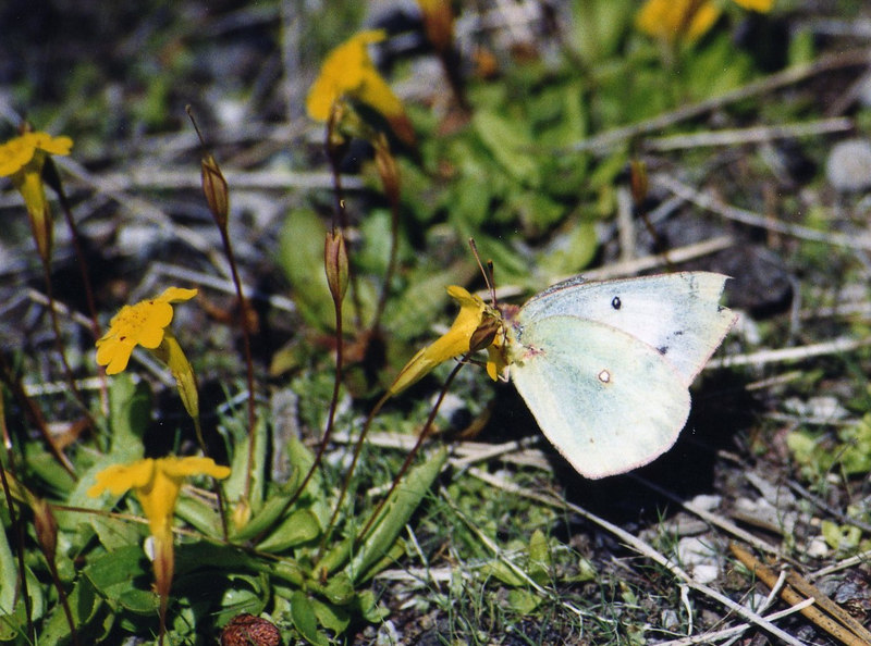 8/19/03 California Dogface (Colias eurydice). Official State butterfly (CA only). On Mimulus primuloides. Medicine Lake, Forest Service Rd. 49 (Modoc Volcanic Scenic Byway). Klamath National Forest, Siskiyou County, CA