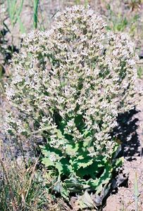 7/3/05 Unidentified. Pullout off Hwy 395, North Fork of Pit River, between Cty Rd 30 & Cty Rd 299 (returning south from Davis Creek to Alturas), Modoc County, CA