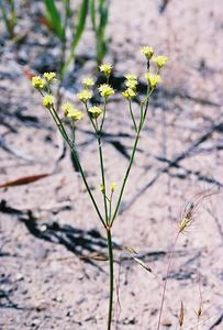 7/3/05 Yellow Nude Buckwheat (Eriogonum nudum var. westonii). Pullout off Hwy 395, North Fork of Pit River, between Cty Rd 30 & Cty Rd 299 (returning south from Davis Creek to Alturas), Modoc County, CA