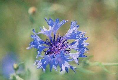 7/3/05 Bachelor Button (Centaurea cyannus). Pullout off Hwy 395, North Fork of Pit River, between Cty Rd 30 & Cty Rd 299 (returning south from Davis Creek to Alturas), Modoc County, CA