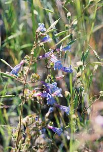 7/2/05 Unidentified Penstemon. East side of Hwy 395, south of Likely (west of S. Warner WIlderness), Modoc County, CA