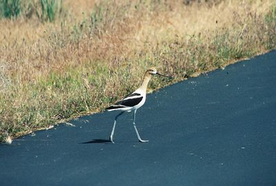 7/3/05 American Avocet (Recurvirostra americana). Pair defending nesting site on paved section at end of Auto Tour). Modoc National Wildlife Refuge, Modoc County, CA