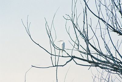 7/3/05 Great Egret (Ardea alba). Auto tour, Modoc National Wildlife Refuge, Modoc County, CA