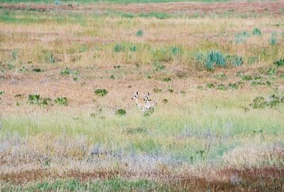 7/4/05 Pronghorn Antelopes (twin babies). West side of Hwy 395, 1 1/2 miles south of Alturas, Modoc County, CA