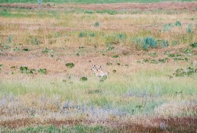 7/4/05 Pronghorn Antelope (twin babies). West side of Hwy 395, 1 1/2 miles south of Alturas, Modoc County, CA