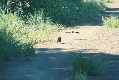 7/3/05 Long-Tailed Weasel? (Mustela frenata) being chased by bird. Auto tour, Modoc National Wildlife Refuge, Modoc County, CA