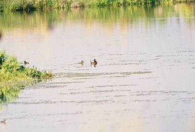 7/3/05 Ruddy Ducks (Oxyura jamaicensis). Auto tour, Modoc National Wildlife Refuge, Modoc County, CA