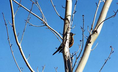 10/22/02 American Robin (Turdus migratorius). Mono Lake County Park, E. Sierra, Mono County, CA