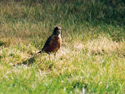 8/16/04 American Robin (Turdus migratorius). Mono Lake County Park, E. Sierra, Mono County, CA
