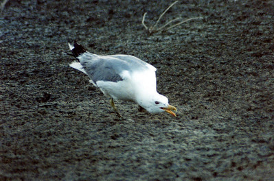 7/5/02 California Gull (Larus californicus). @shoreline eating brine flies. Mono Lake Tufa State Reserve, access road north of County Park, Eastern Sierra, Mono County, CA