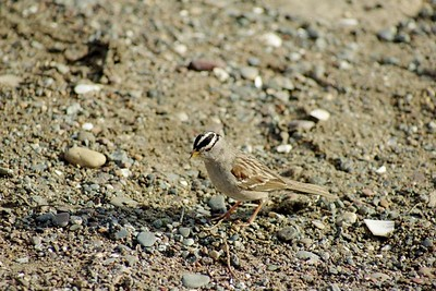 1/15/05 White-Crowned Sparrow (Zonotrichia leucophrys). Morro Rock, Morro Bay Winter Bird Festival event, with docent Rosemary Olszewski.