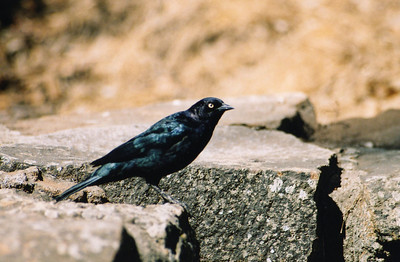8/19/04 Brewer's Blackbird (Euphagus cyanocephalus). Outside Natural History Museum, Morro Bay State Park, San Luis Obispo County, CA