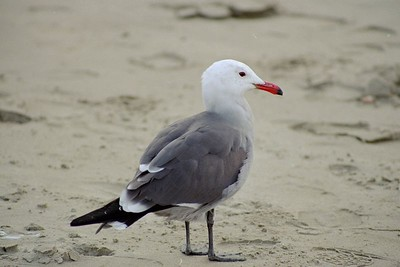 1/17/05 Heermann's Gull (Larus heermanni). Morro Strand State Beach, San Luis Obispo County, CA