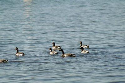 1/16/05 Black Brant Geese (Branta bernicla), feeding on eelgrass near shore of Mudflat Cafe. Morro Bay State Park, San Luis Obispo County, CA