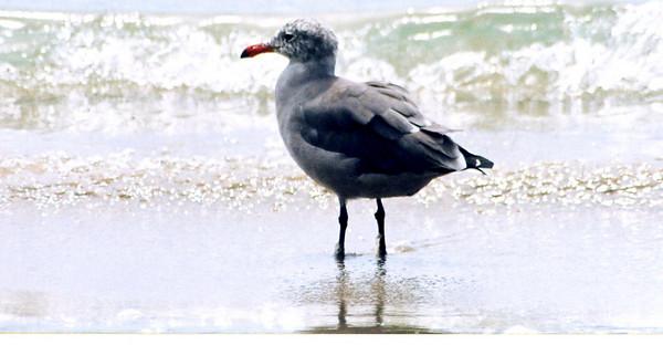 8/19/04 Heermann's Gull (Larus heermanni). Morro Rock, Morro Bay, San Luis Obispo County, CA