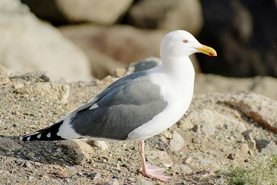1/15/05 Western Gull (Larus occidentalis). Morro Rock, Morro Bay Winter Bird Festival event, with docent Rosemary Olszewski.