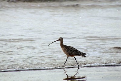 1/17/05 Long-Billed Curlew (Numenius americanus). Morro Strand State Beach, San Luis Obispo County, CA