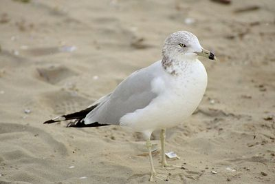 1/17/05 Ring-Billed Gull (Larus delawarensis). Morro Strand State Beach, San Luis Obispo County, CA