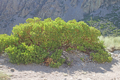 8/15/11 Greenleaf Manzanita (Arctostaphylos patula). Onion Valley Rd., Eastern Sierras, Inyo National Forest, Inyo County, CA