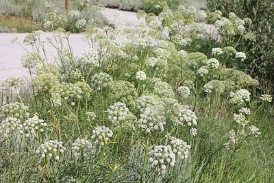 8/15/11 Sierra Angelica (Angelica linearloba). Onion Valley, Eastern Sierras, Inyo National Forest, Inyo County, CA
