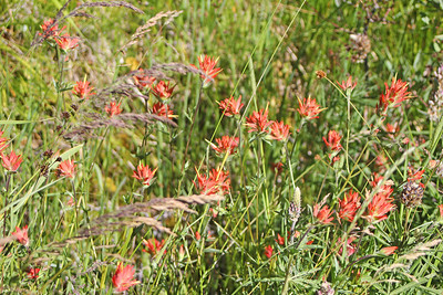 8/15/11 Great Red Paintbrush (Castilleja miniata). Onion Valley, Eastern Sierras, Inyo National Forest, Inyo County, CA