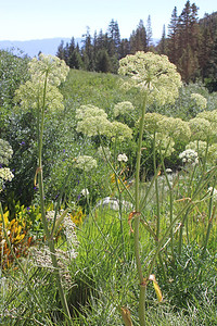 8/15/11 Sierra Angelica (Angelica lineariloba). Onion Valley, Eastern Sierras, Inyo National Forest, Inyo County, CA