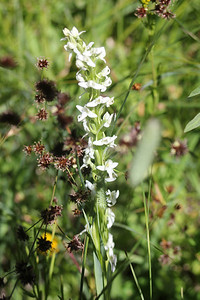 8/15/11 Sierra Rein Orchid (Platanthera leucostachys). Onion Valley, Eastern Sierras, Inyo National Forest, Inyo County, CA
