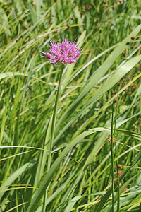 8/15/11 Swamp Onion (Allium validum). Onion Valley, Eastern Sierras, Inyo National Forest, Inyo County, CA