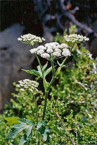 7/6/02 Cow Parsnip (Heracleum lanatum). Onion Vally Road, 9,200 ft., Independence region, Eastern Sierras, Inyo County, CA