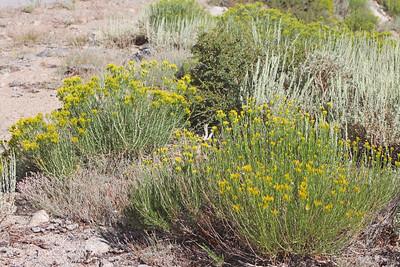 8/15/11 Rabbitbrush (Chrysothamnus nauseosus). Onion Valley Rd., Eastern Sierras, Inyo National Forest, Inyo County, CA