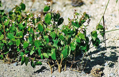 7/8/00 Spreading Dogbane (Apocynum androsaemifolium). Onion Valley, Independence Region, Eastern Sierras, Inyo National Forest, Inyo County, CA
