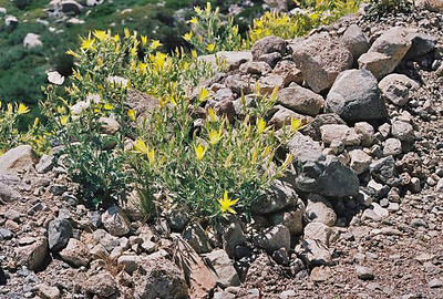 7/8/00 Giant Blazing Star (Mentzelia laevicaulis). Onion Valley Road, 7,500-8,000 ft., Inyo National Forest, Independence Region, Eastern Sierras, Inyo County, CA