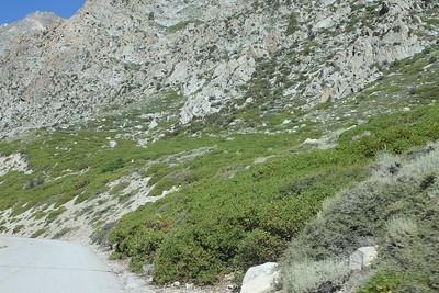 8/15/11 Greenleaf Manzanita (Arctostaphylos patula). Onion Valley Rd., Eastern Sierras, Inyo National Forest, Inyo County, CA