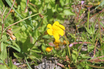 8/15/11 Seep Monkeyflower (Mimulus guttatus). Onion Valley, Eastern Sierras, Inyo National Forest, Inyo County, CA