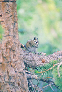 7/8/00 Alpine Chipmunk. Onion Valley Campground, Site#18. Eastern Sierras, Inyo National Forest, Inyo County, CA