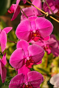 1511-Pink Orchid