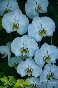 1445-White Orchids