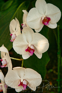 1565-White Orchid