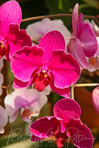 1528-Pink Orchid