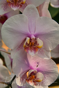 1547-White Orchid