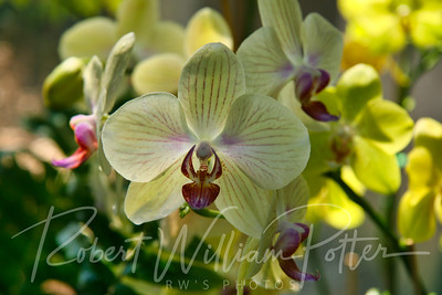 1446-Yellow Orchid